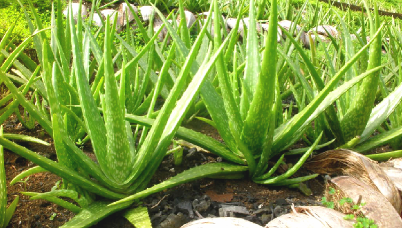 Et si vous plantiez de l'aloe vera ?