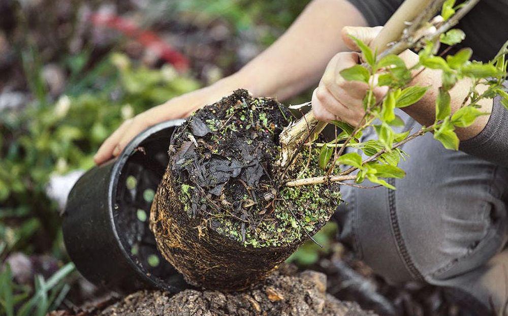 Planter un noyer : comment procéder ?
